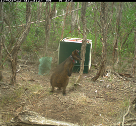 Wallaby footage image